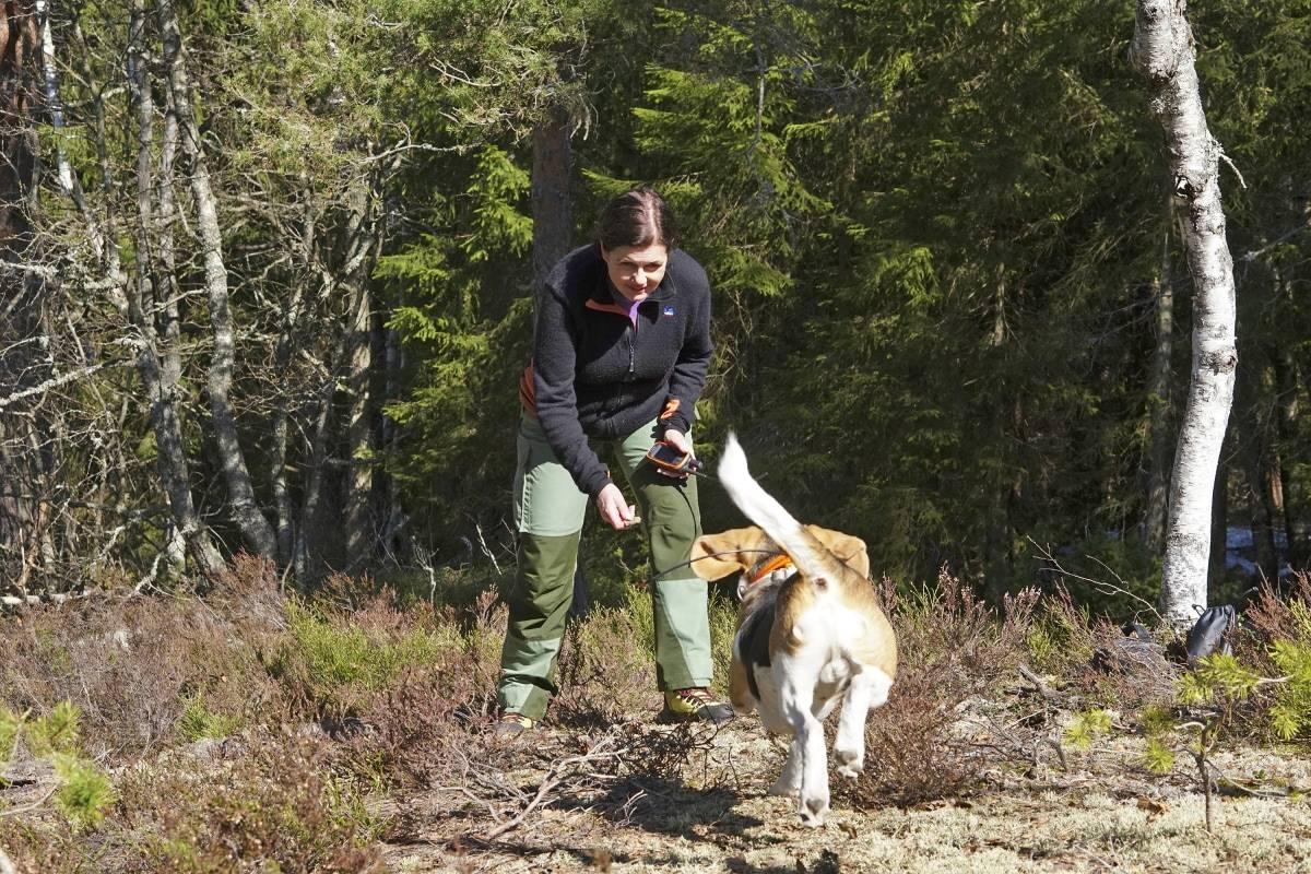 """Lutter øre: Beaglen Buster er """"all ears"""" når Kristin Fossmo trykker på Alpha-enheten og det piper i peilehalsbåndet."""