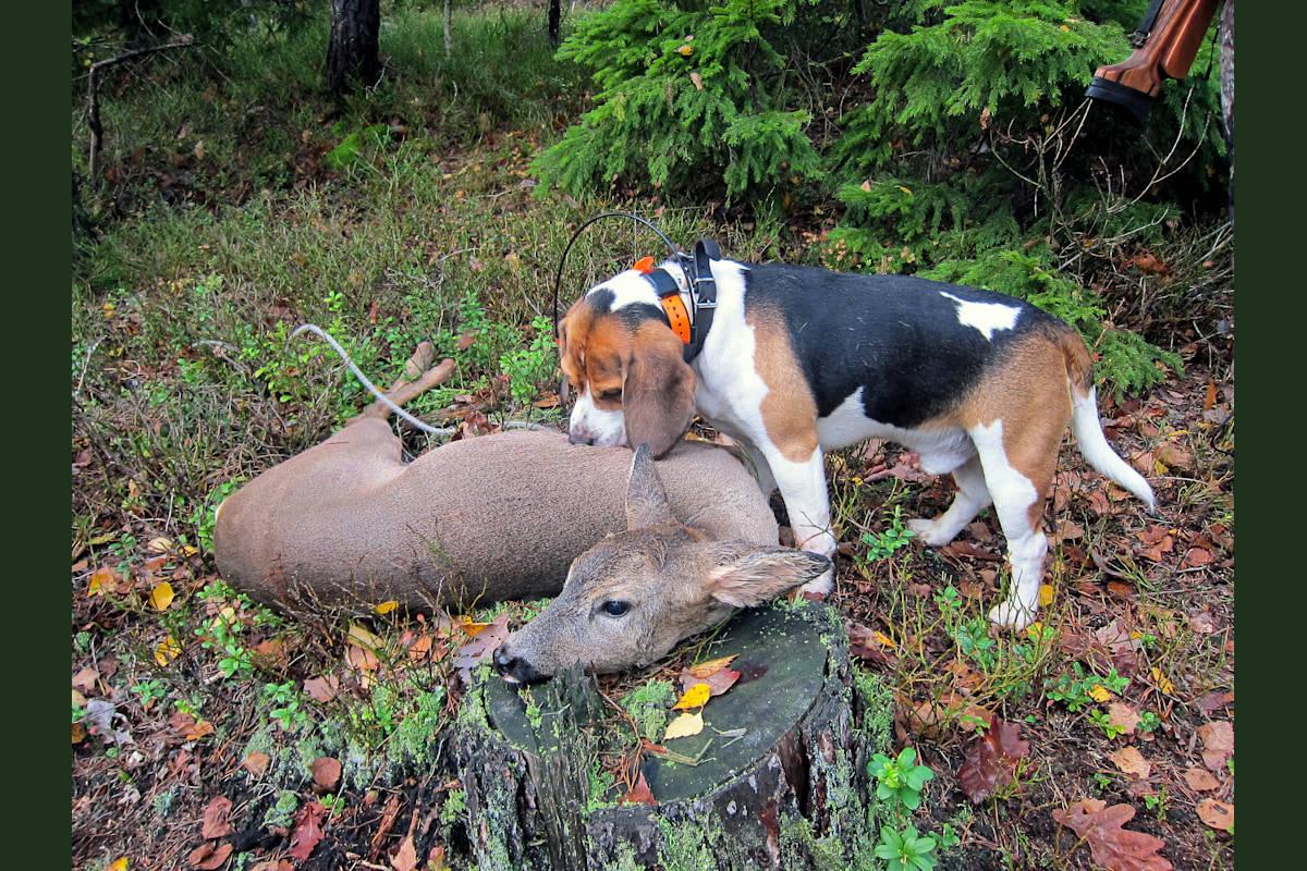 ALLSIDIGE: På kontinentet brukes beagle også på jakt etter villsvin;  rasen brukes også i tollvesenets tjeneste.