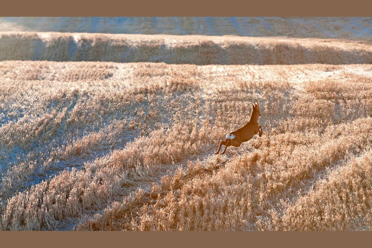 BUKKEPARADEN: Midtveis på den frostslåtte enga blir paraden avbrutt. Med et byks tverrvender bukken, spretter tilbake samme veien som han kom, mens han irritert brøler.