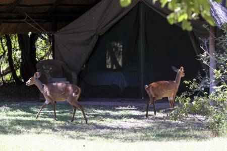 """PLENTY DYR: I mitt jaktparadis i Msaise våkner du ofte til dyr """"inne"""" i teltet, her noen nysgjerrige bushbucks."""