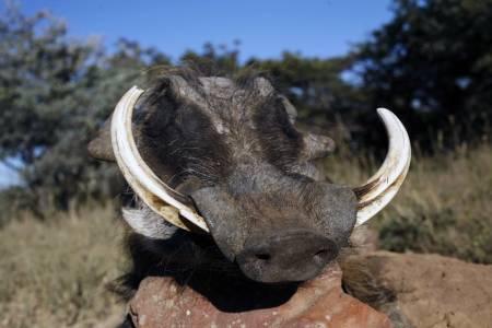 VELUTSTYRT: Ikke noe å si på størrelsen på tenner på dette vortesvinet. De imponerende tennene brukes både til å grave med under matsøket og til å forsvare seg med mot rovdyr.