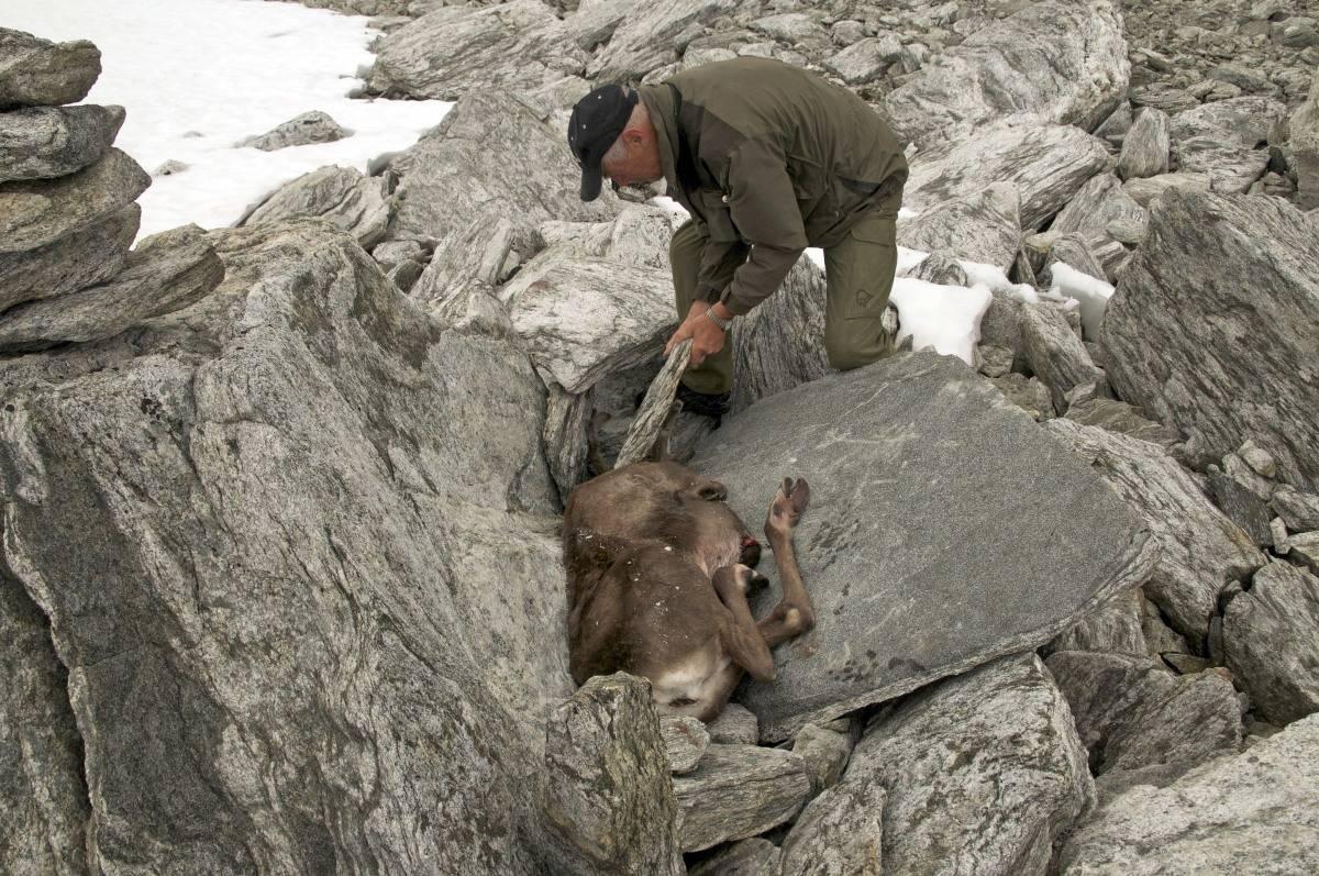 Med skinnet på: I dette tilfellet har vi lagt dyret med skinnet på i en naturlig fordypning mellom store steiner. Det er ofte mer renslig enn å lagre kjøttet ferdig slaktet og lemmet.