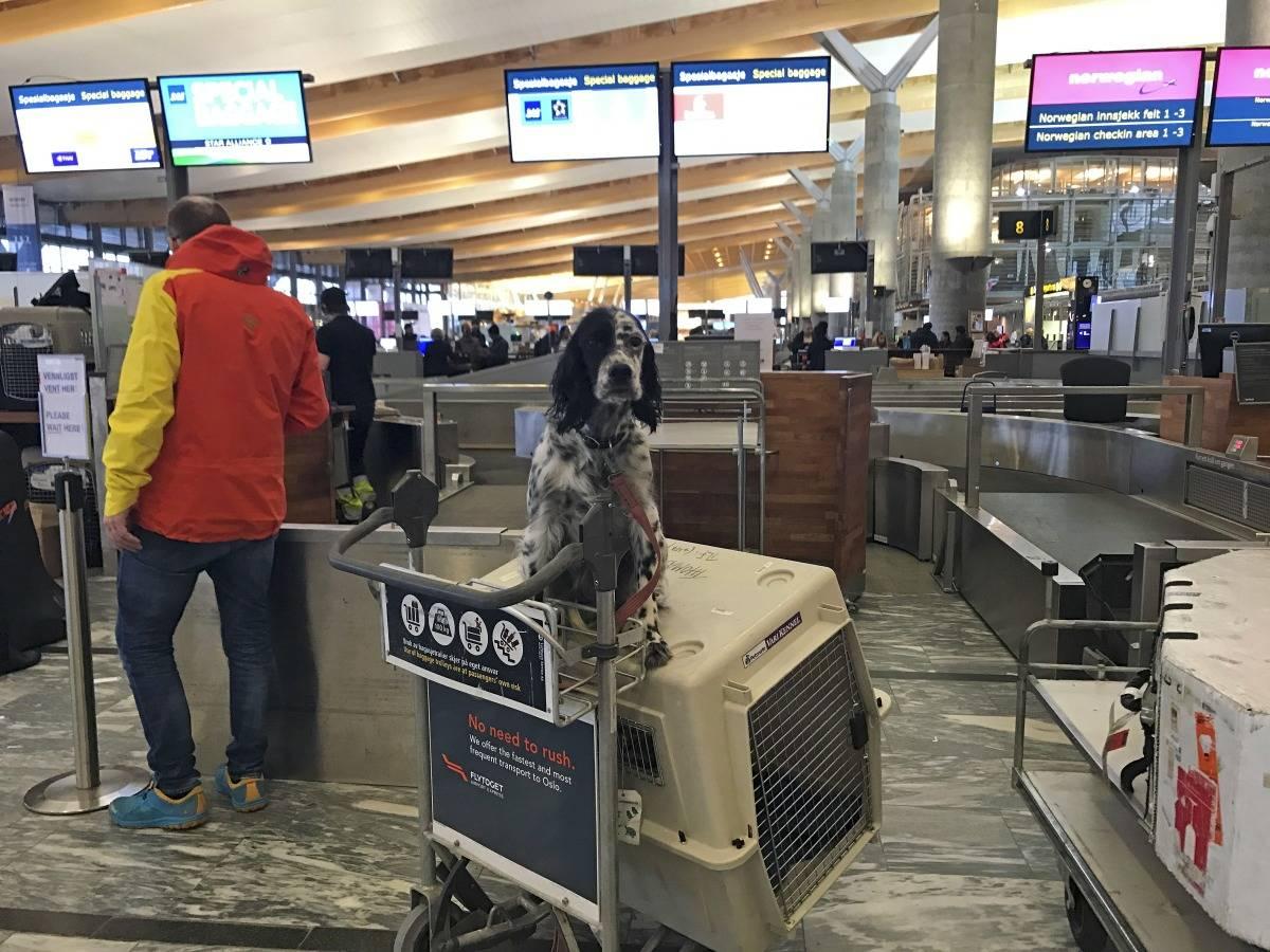 Fit for flight: Rolig og trygg hund ved avreise, som lurer mest på om han kan få være dagens halehelt hos Norwegian på Gardermoen.