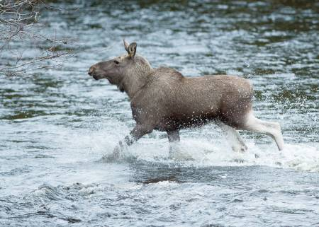 elg i vann jegerprøven jeger quiz jegerprøvespørsmål
