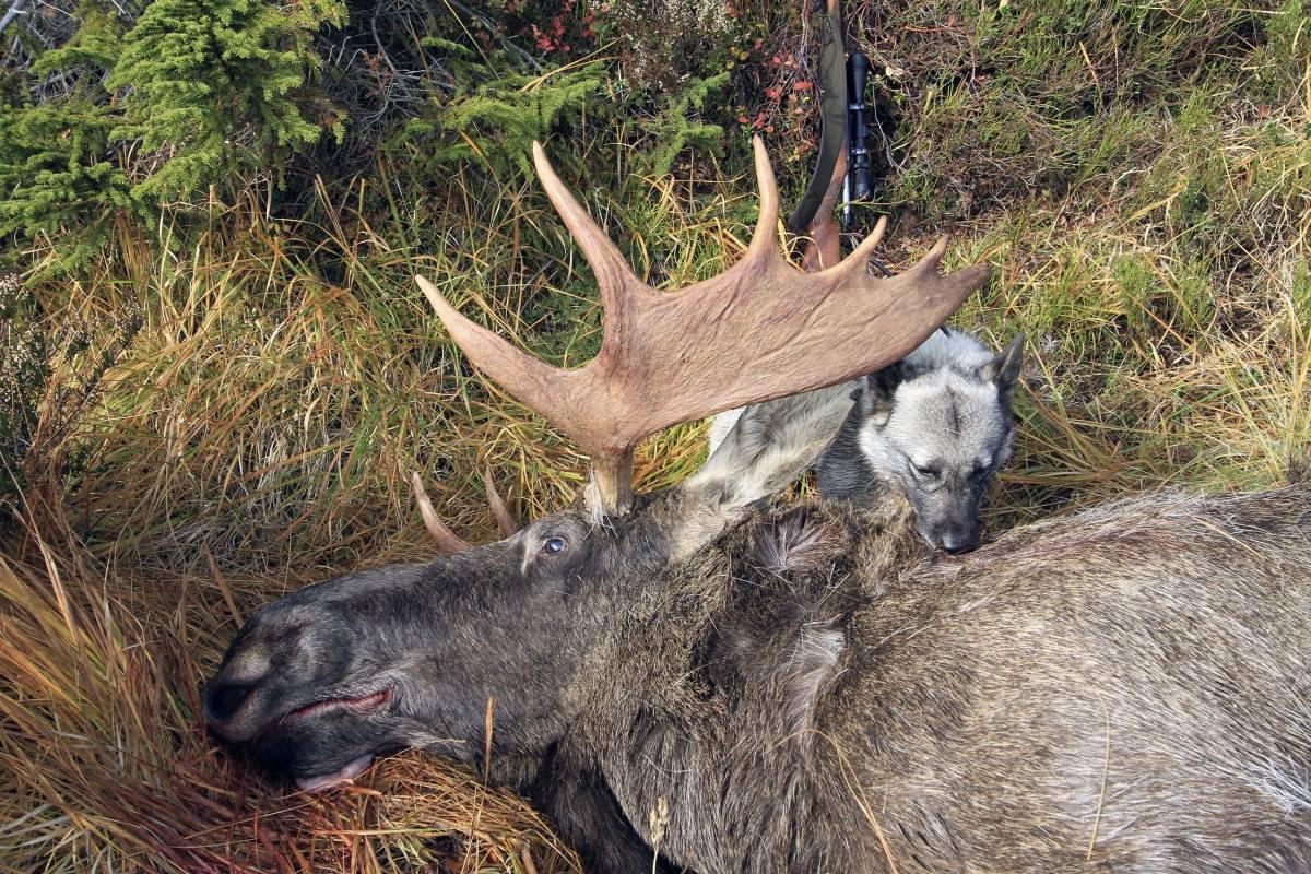 Stødig til storoksen: A-frame er ei kule som funker godt på elg og annet stort vilt, for eksempel til Afrika-jakt.