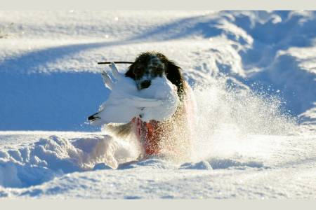 FULL FRES: Stødig apportør en herlig dag på vinterjakt.