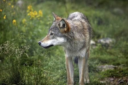Solidarisk: Forfatteren av leserinnlegget maner til solidaritet med jegerne som må leve med ulv i sine jaktområder. Ill.foto: Åsgeir Størdal (kontrollerte forhold).