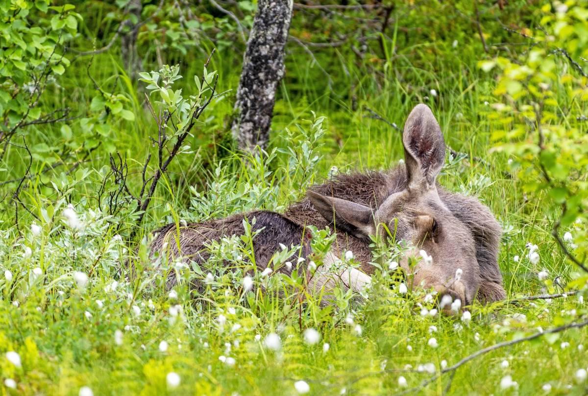 Blinkskudd, naturfoto, dyrefoto, elg