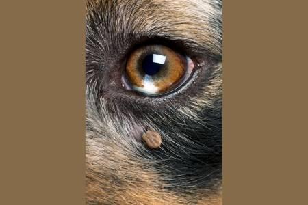 flått, hund, borreliose