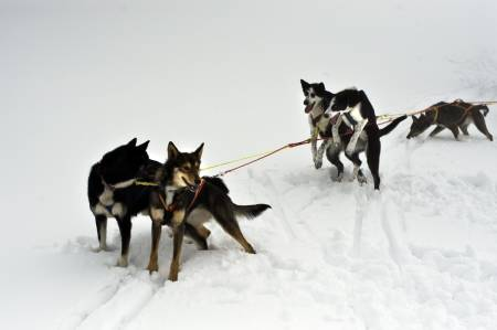 Foring av hund, fett vinterstid, hund forbrenne fett