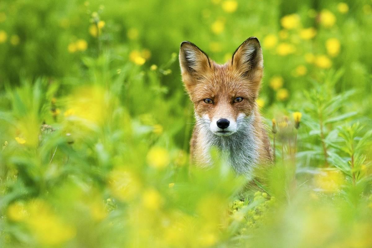 Blinkskudd, naturfoto, bilder av dyr