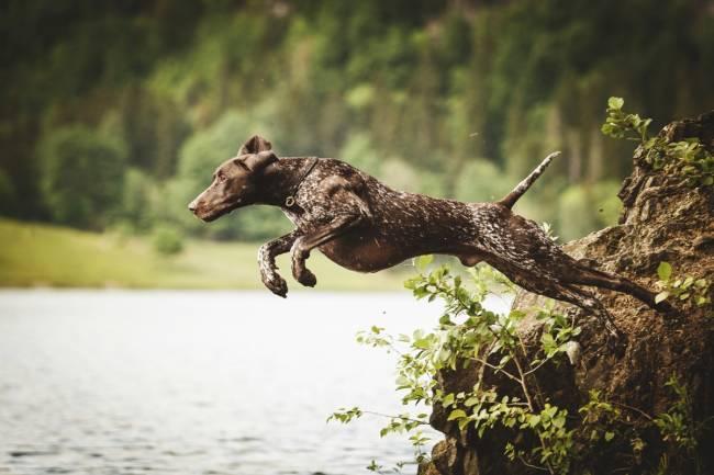 Hundetrening, svømming hund, jakthund