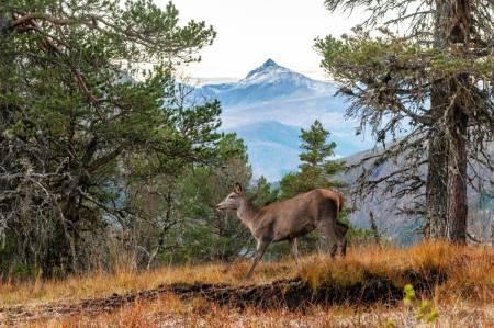 bestemme dyr, hjortejakt, artskontroll, skille ung og gammel hjortekolle