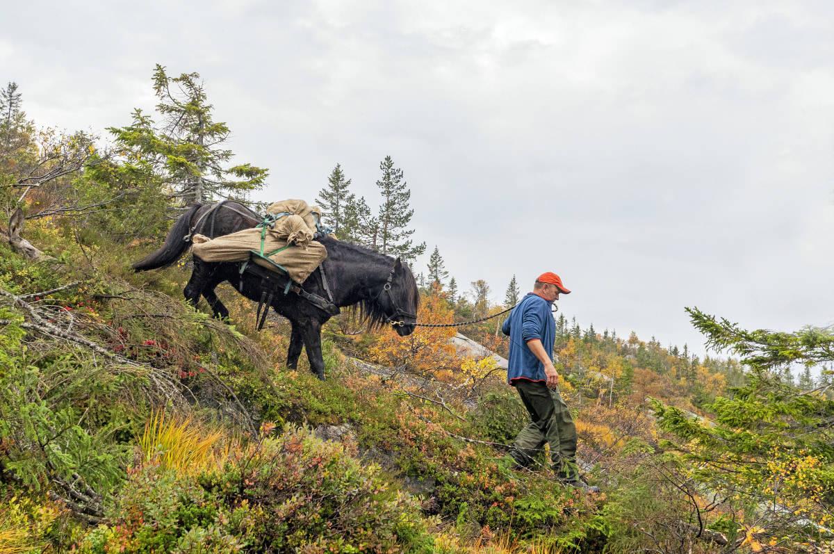 Elgjakt med hest, bruke hest for å frakte ut elgkjøtt