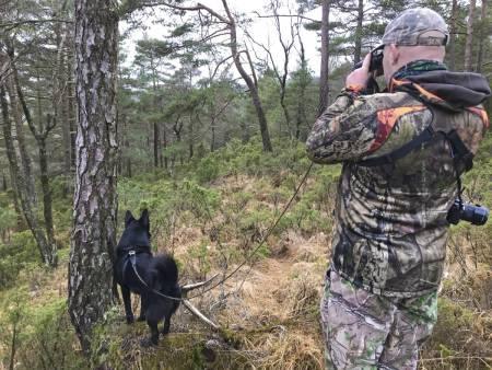 Innjaging av svarthund, bandhund elgjakt, norsk elghund sort