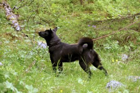Skyldes ulv: Norsk elghund sort Kullskogens VT Embla med overvær i skogen. Oppdretter Arnfinn Kullerud er overbevist om at økte ulveproblemer på Østlandet er noe av forklaringen på økt popularitet for bandhunder generelt og norsk elghund sort spesielt.
