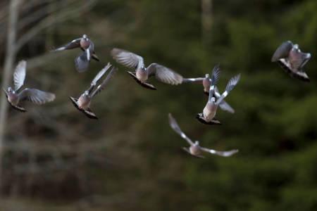 ringdue due duejakt jakt på duer