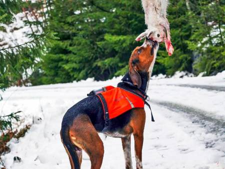Harejakt med drivende hund, tips, harejakt uten hund