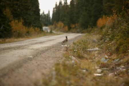 Grusbane: Haren er en luring og tar gjerne grusveien fatt for å riste av sine forfølgere. (Ill.foto: Åsgeir Størdal)
