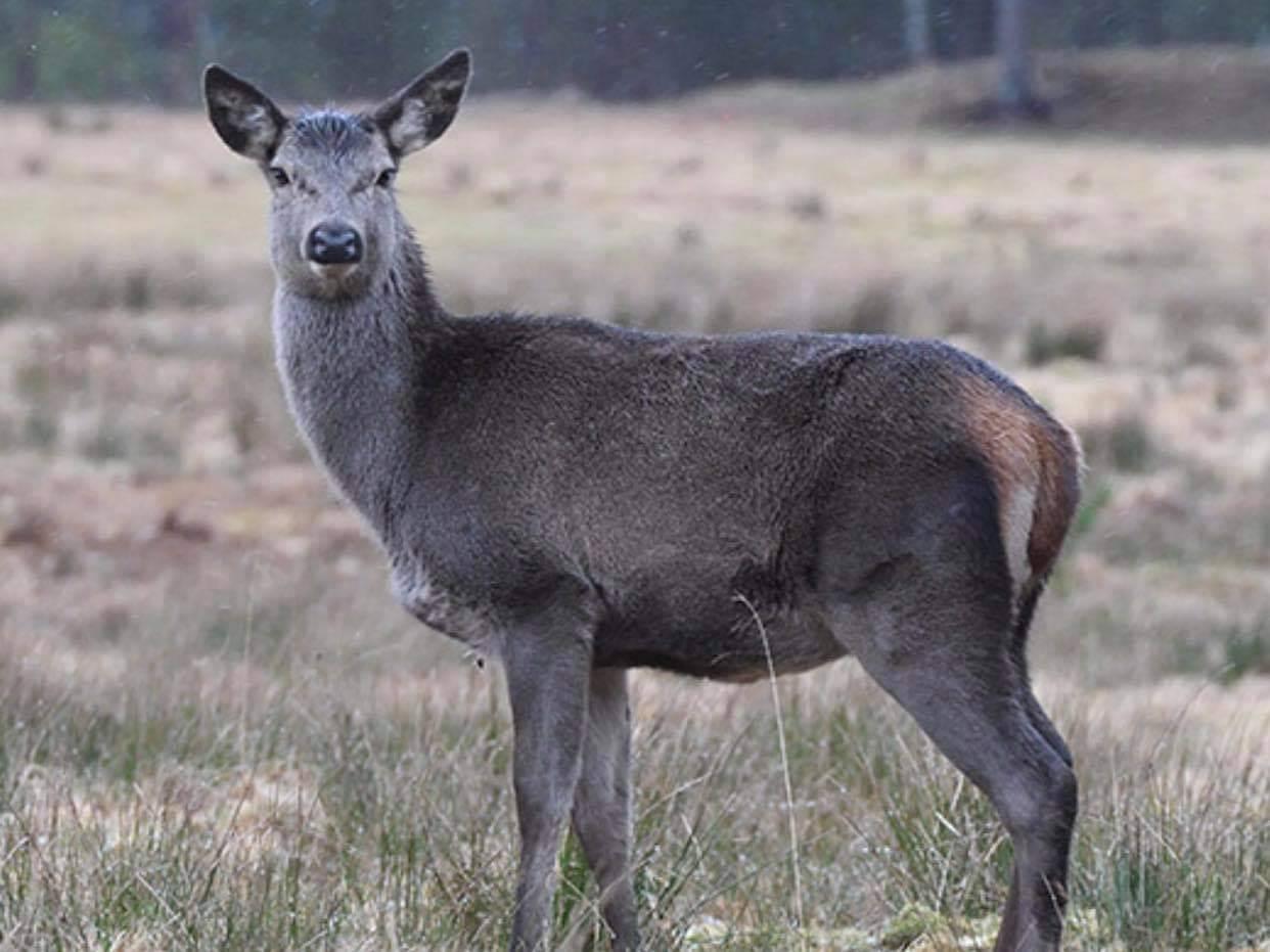 Hjorten i Etne hadde ikke klassisk skrantesyke (ill.foto: Hjortevilt.no)