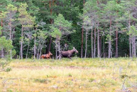 Vilt med vilt: Litt overraskende kom det både elg, hjort og rådyr i kveldsdrevet når jaktlaget leiter etter hjort.