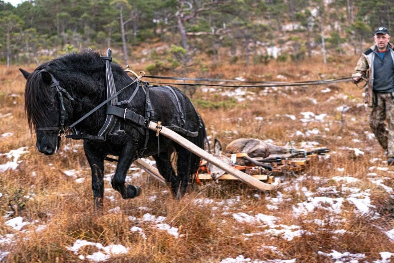 Fyrrige hestekrefter: Nordlandshesten Fyrgutten legger seg i selen mens Asbjørn Larsen vant styrer tømmene.