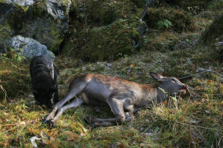 hjortekalv og svart elghund bandhund hjortejakt