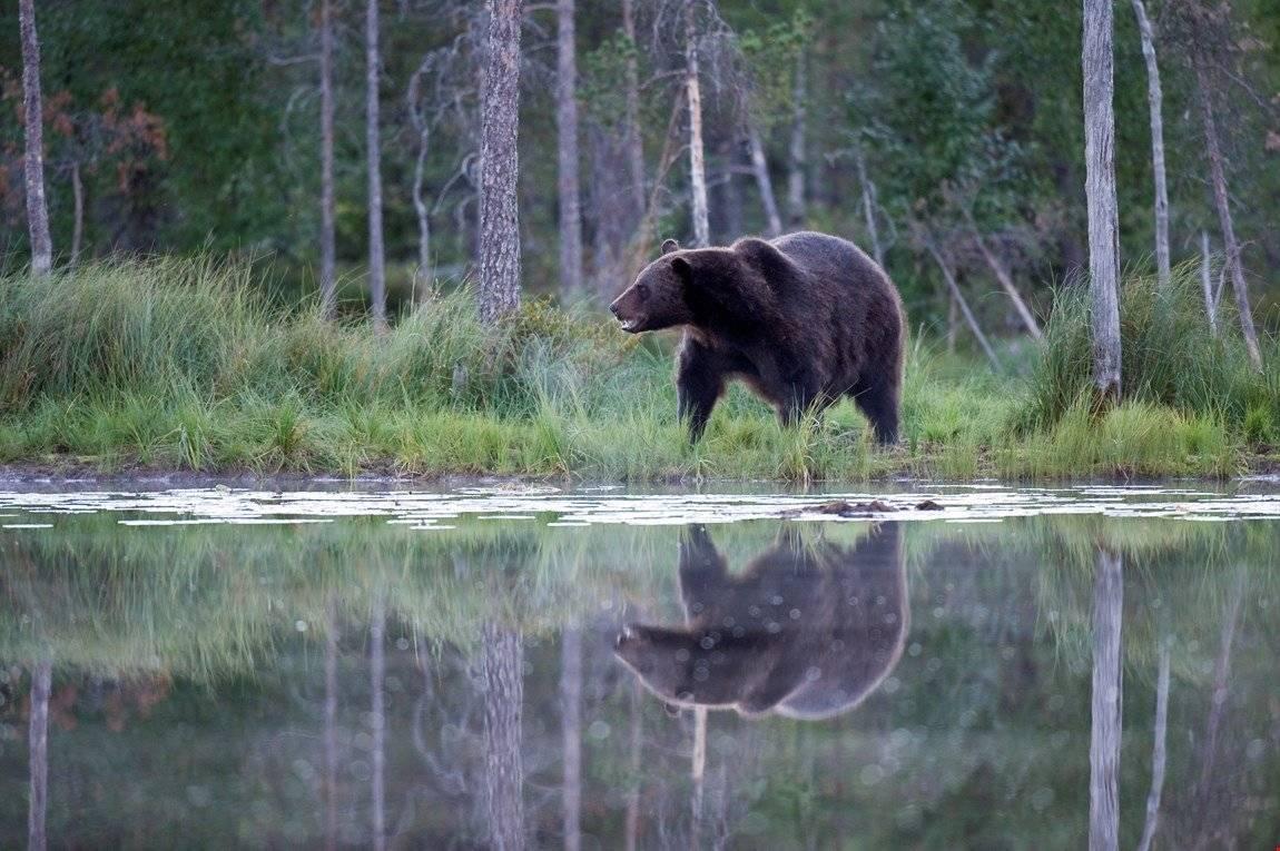 Lisensfellingsperioden for bjørn varer fra 21. august til 15. oktober. Foto: Bård Bredesen/Naturarkivet.