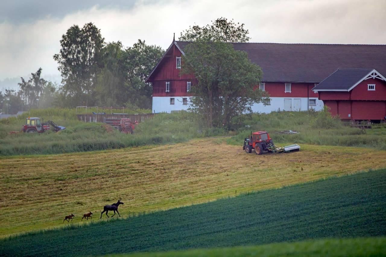 Sjeldent syn: 2018-årgangen av elg i Sør-Norge ga få og magre  kalver. Ill.foto: Henrik Strømstad