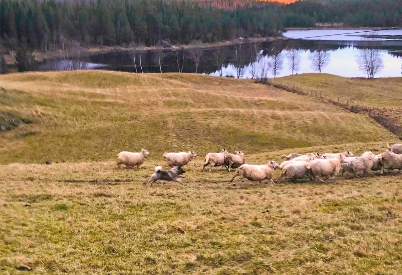 PÅ INNMARK: Saueeier Emil Haugan fikk fotografert at Kaan jaga sauen på innmarka.
