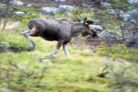 Bomme på elgen, elgjakt, storviltjakt, jegerjuss, lover i jakta