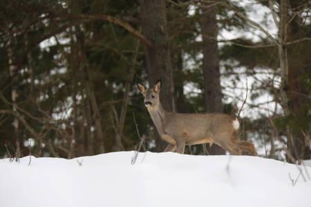 jakttid høring vinter rådyr