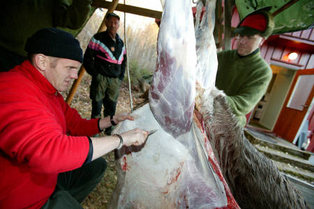 elg elgslakt elgjakt jegere slakter elg foto Åsgeir Størdal