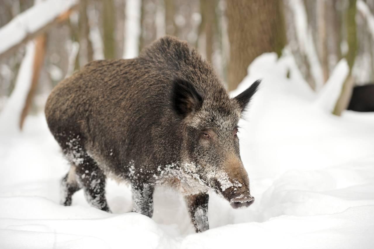 Villsvin, jakt, prøver