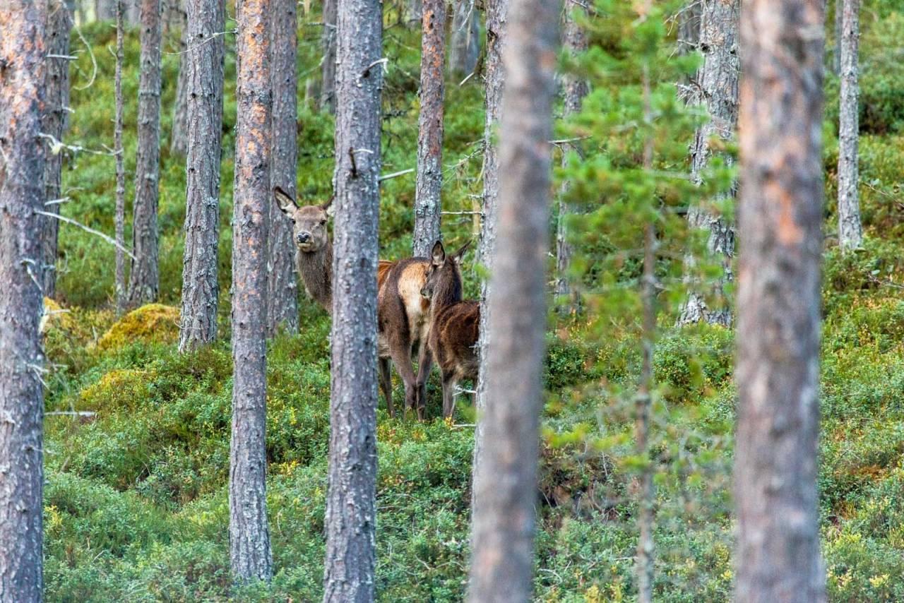 Venter vekst: Norske hjorteforskere tror vi fortsatt vil få økt fellingstall for hjort…