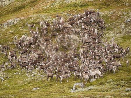 Villrein på fjellet viltforvaltning