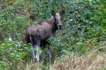 elg elgku hjortevilt