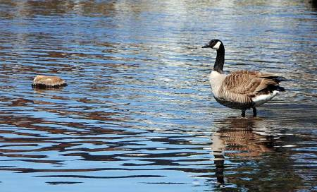 Kanadagås fugleinfluensa jaktforbud