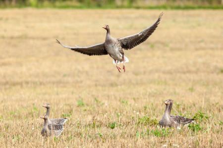 Høypatogen fugleinfluensa (HPAI) gåsejakt andejakt grågås