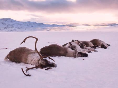 Skutt villrein fra Nordfjella.