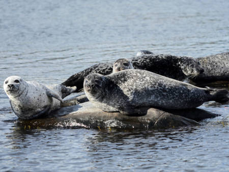 Steinkobbe på et skjær i sjøen
