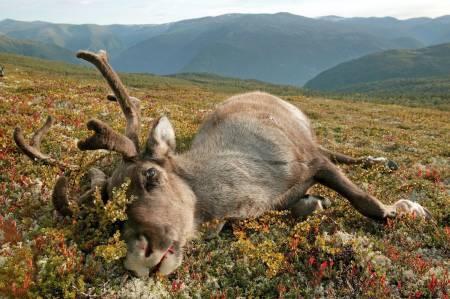 Villrein, skrantesjuke, Hardangervidda,