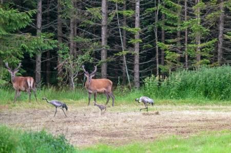 Ut av skogen: Både hjort og trane finner seg godt til rette i kulturlandskapet, etterhvert som bestandene vokser.
