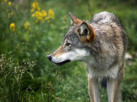 Bildet av en ulv fra en naturpark.