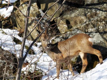Bildet viser et rådyr på vinteren.