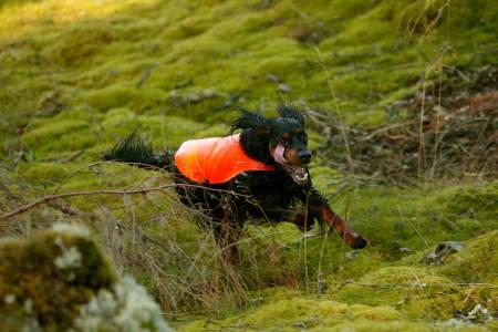 Jakthund gordon setter fuglehund rypejakt skogsfugljakt foto: Åsgeir Størdal