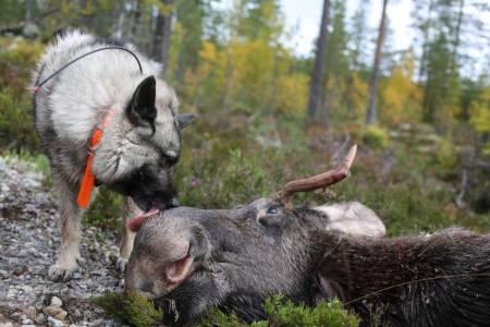 Norsk elghund grå Norges nasjonalhund populær hunderase