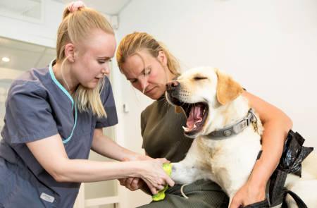 Voff-off...: Fria blir fulgt opp av veterinær i etterkant av ormebittet. Hun sitter i ro, men liker definitivt ikke å ta blodprøve.