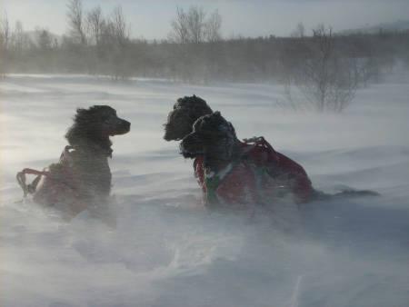 jakthund vinter, fryser hunden, hundens helse i kulda