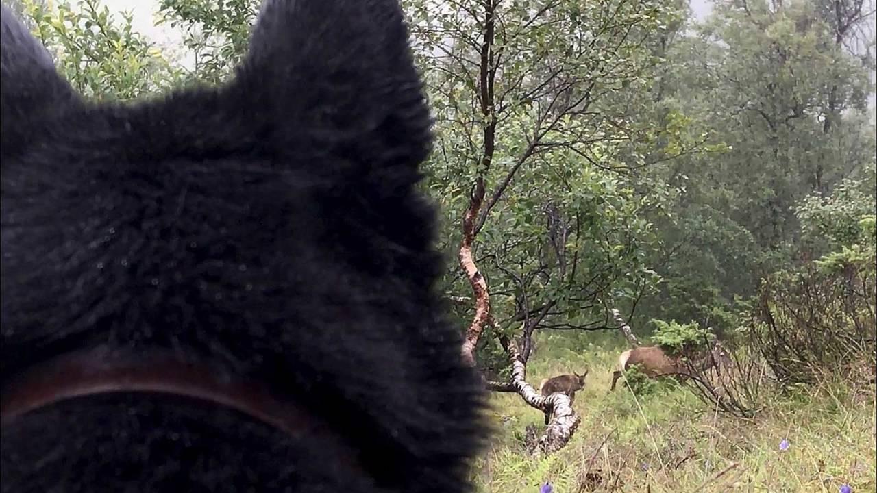 ROLIG OG BEHERSKET: En grunnleggende forutsetning for å lykkes, er at hunden lærer at den også må ta det med ro og ikke bli for ivrig og jaktgal.